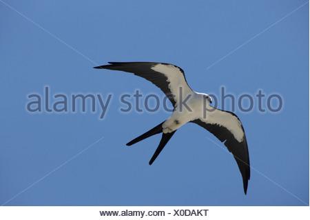 Swallow-tailed kite (Elanoides forficatus) in flight at Oscar Shearer State Park, Florida, USA - Stock Photo