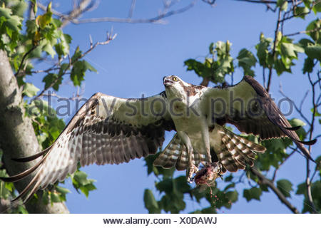 An osprey, Pandion haliaetus, in flight with a fish in its talons. - Stock Photo