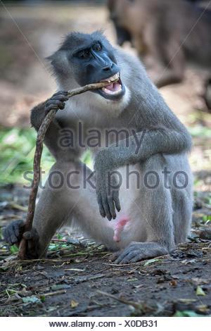 Drill (Mandrillus leucophaeus), Primatenart aus der Familie der Meerkatzenverwandten. Zusammen mit dem Mandrill bildet er die Ga - Stock Photo