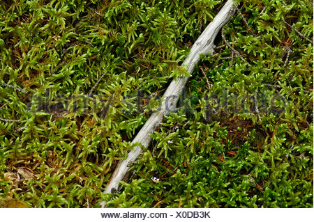 Moss growing on a forest floor, Maine, USA - Stock Photo