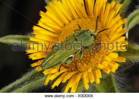 Emerald Ash-borer Beetle Anthaxia hungarica adult male Spiny Starwort Pallenis spinosa flower near Minerve Herault - Stock Photo