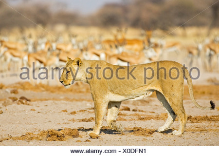 Lioness (Panthera leo) Nxai Pan, Makgadikgadi Pan National Park, Botswana, Africa - Stock Photo