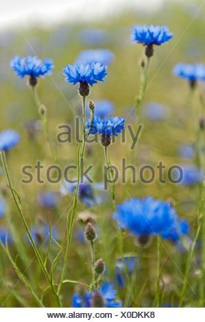 Cornflowers, Centaurea cyanus, in a rapeseed field, North Germany. - Stock Photo