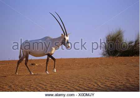 Arabian oryx walking in sand Oryx leucoryx - Stock Photo