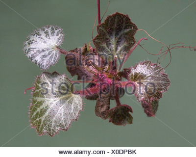 Mother-of-Thousands, Strawberry Geranium, Creeping Saxifrage (Saxifraga stolonifera), stolon with young plant - Stock Photo