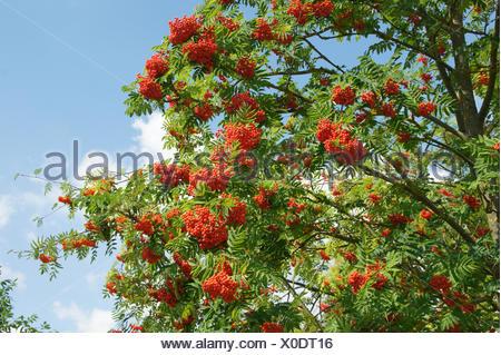 Sorbus aucuparia, Rowan - Stock Photo