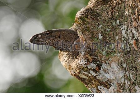 Bengal monitor, Indian monitor, common monitor (Varanus bengalensis), looking out of a tree hole, Sri Lanka, Wilpattu National Park - Stock Photo