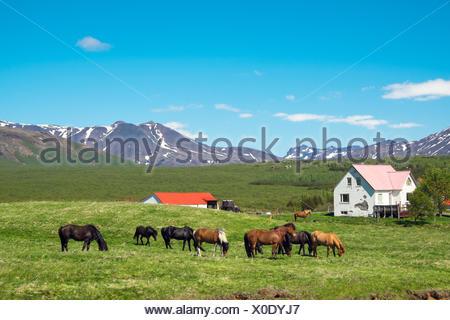 Typical icelandic farm with grazing icelandic hors - Stock Photo
