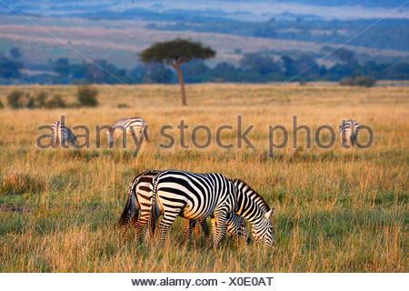 Plains Zebras (Equus guagga), in the morning light, behind an umbrella acacia tree, open steppe, Maasai Mara National Reserve - Stock Photo