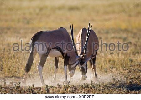 Africa, Namibia, Two gemsbok bulls (Oryx Gazella) sparring - Stock Photo