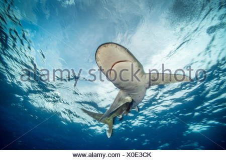 An oceanic whitetip shark, Carcharhinus longimanus, swims in the waters off Cat Island in the Bahamas. - Stock Photo