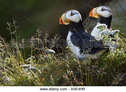 Horned puffins, Lake Clark National Park, Alaska, USA - Stock Photo