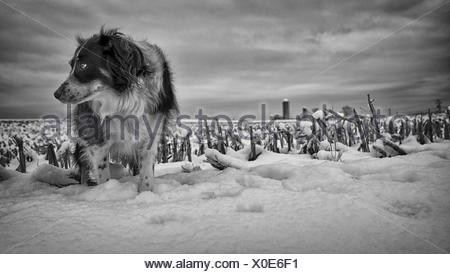 Close-Up Of Dog Standing In Snow - Stock Photo