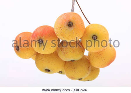 Fruits of a service tree (Sorbus domestica) - Stock Photo