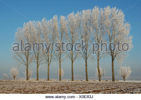 Poplars covered with frost in winter landscape - Stock Photo