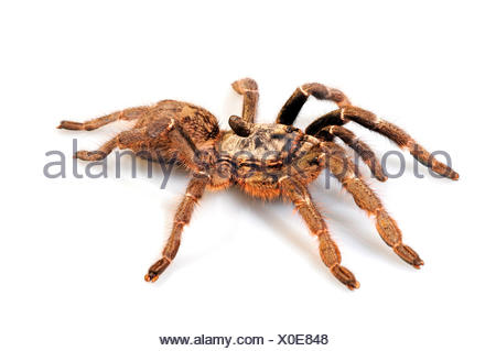 Horned baboon spider, African Rear-horned Baboon, Burst Horned Baboon, Straight Horn Tarantula (Ceratogyrus darlingi, Ceratogyrus bechuanicus, Ceratogyrus schultzei), cut-out - Stock Photo