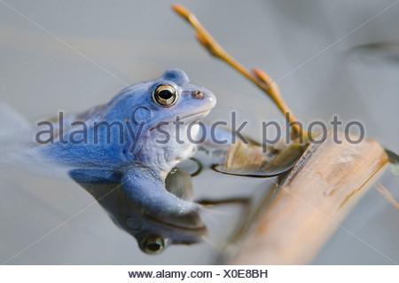 moor frog, male at mating season, rana arvalis, lower saxony, germany - Stock Photo