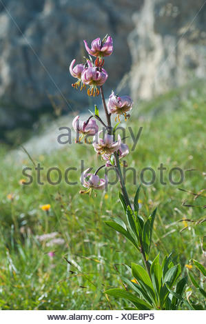 Turk's cap lily (Lilium martagon), flowering, mountain meadow, Province of South Tyrol, Italy - Stock Photo