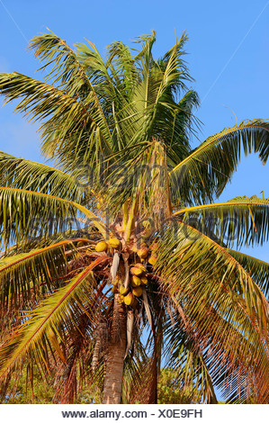 Coconut palm (Cocos nucifera), coconuts, Everglades National Park, Florida, United States - Stock Photo