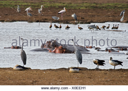 Hippos, Herons, Ducks and Storks Congregate at a Small Pond - Stock Photo
