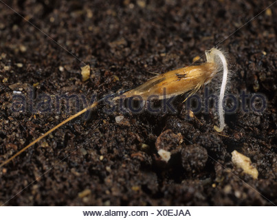 Wild oat Avena fatua seed with single radicle beginning to penetrate the soil - Stock Photo