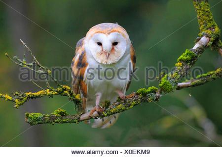 Barn owl (Tyto alba), sitting on a branch, Germany - Stock Photo