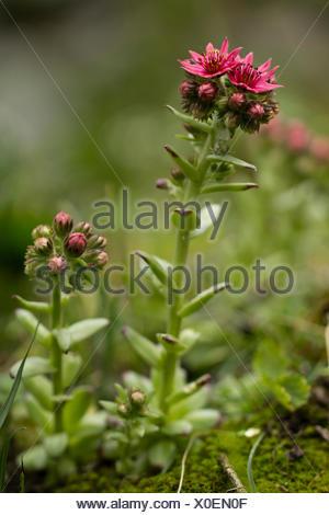 Nature, Plant, Flower, lila, houseleeks, Sepervivum, Crassulaceae, Switzerland - Stock Photo
