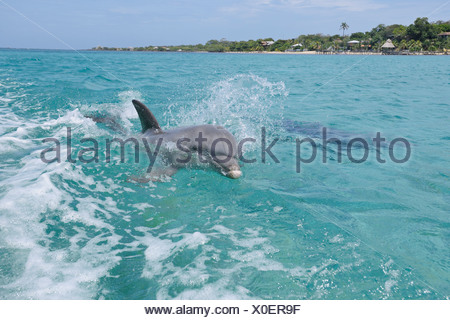 Latin America, Honduras, Bay Islands Department, Roatan, Caribbean Sea, Two bottlenose dolphins swimming in seawater surface - Stock Photo