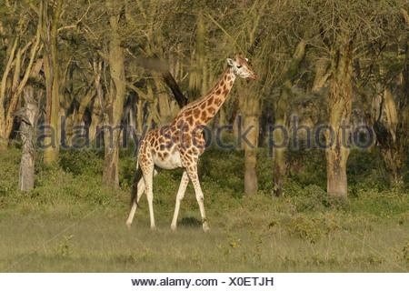 Rothschild Giraffe or Ugandan Giraffe (Giraffa camelopardalis rothschildi), Lake Nakuru National Park, near Nakuru - Stock Photo