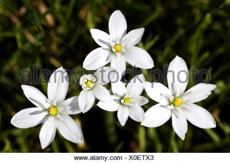 sleepydick, star of bethlehem (Ornithogalum umbellatum), blooming, Germany - Stock Photo