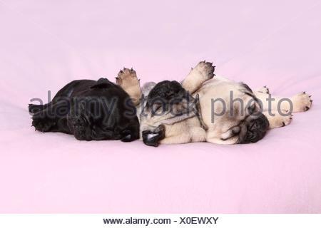 pug puppies - Stock Photo