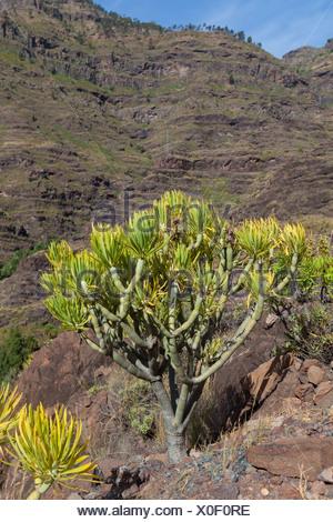 Mountain chain and an Euphorbia bush (Euphorbia sp.), El Pie de la Cuesta, Roque Bentaiga, Gran Canaria, Canary Islands, Spain - Stock Photo