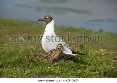 Black-headed Gull (Chroicocephalus ridibundus) adult, breeding plumage, with chick, three-days old, standing on nest at edge of - Stock Photo