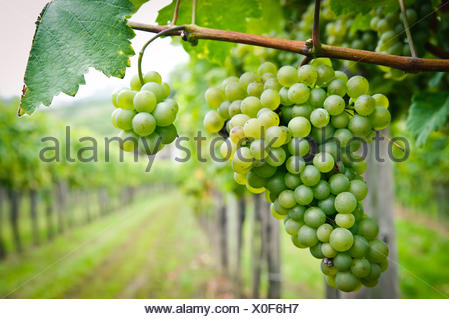 White Grapes in a Vineyard - Stock Photo