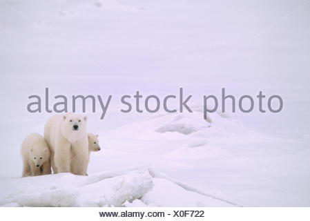 Polar bear mother and cubs, Ursus maritimus, on near shore ice, near Churchill, Manitoba, Canada - Stock Photo