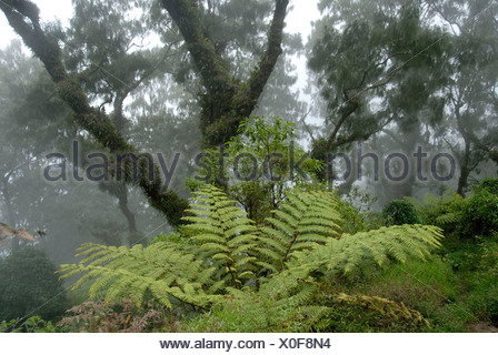 Jungle, cloud forest, fog, big ferns and ancient moss-covered trees moss in the forest, mountain Gunung Abang, Bali, Indonesia - Stock Photo