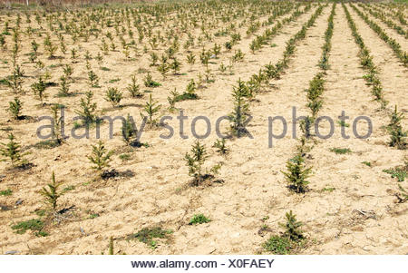 Fir planting - Stock Photo