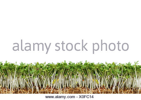 cress with white background - Stock Photo