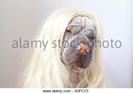 Portrait of a Shar pei dog wearing long blonde wig - Stock Photo