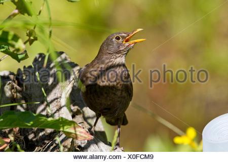 blackbird (Turdus merula), singing blackbird, Germany - Stock Photo