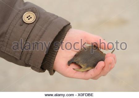 Kinderhand met gevonden eikapsel van een rog, Children's hand with a found egg of a ray - Stock Photo
