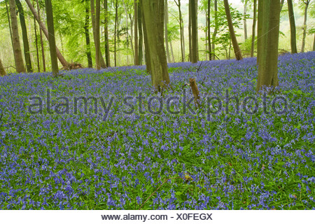 Spring bluebells in the beech woodland on the Chiltern Hills above Mapledurham, Oxfordshire, Uk - Stock Photo