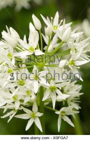 Wild Garlic or Bear's Garlic (Allium ursinum), botanical gardens at the University Innsbruck, Austria, Europe - Stock Photo