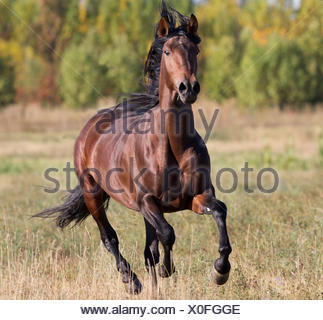 Andalusian stallion running, Longmont, Colorado, USA. - Stock Photo
