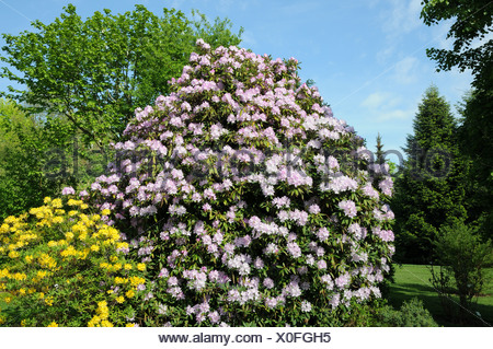 Rhododendron ponticum, Rhododendron luteum - Stock Photo