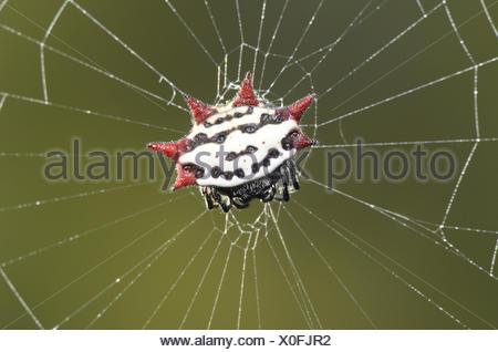 Spiny-backed Orbweaver - Gasteracantha elipsoides cancriformis - Stock Photo