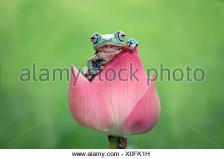 Javan gliding tree frog sitting on a flower - Stock Photo