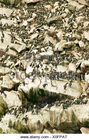Thin-billed Murre Common Murre Uriaalge cliffs - Stock Photo
