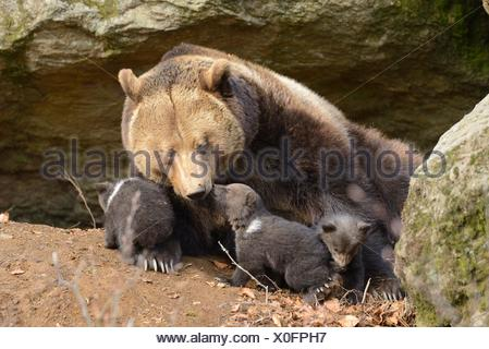 Brown bear (Ursus arctos) cubs with mother in Bavarian Forest National Park, Germany - Stock Photo