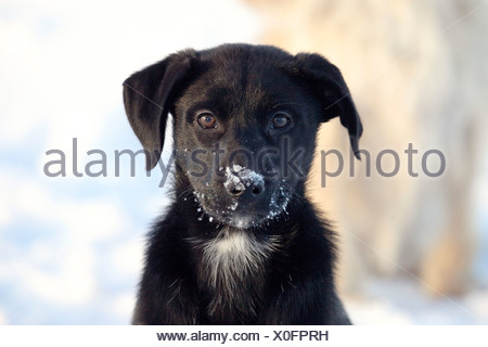 Labrador Retriever (Canis lupus f. familiaris), young Labrador mix with snow at the snout - Stock Photo
